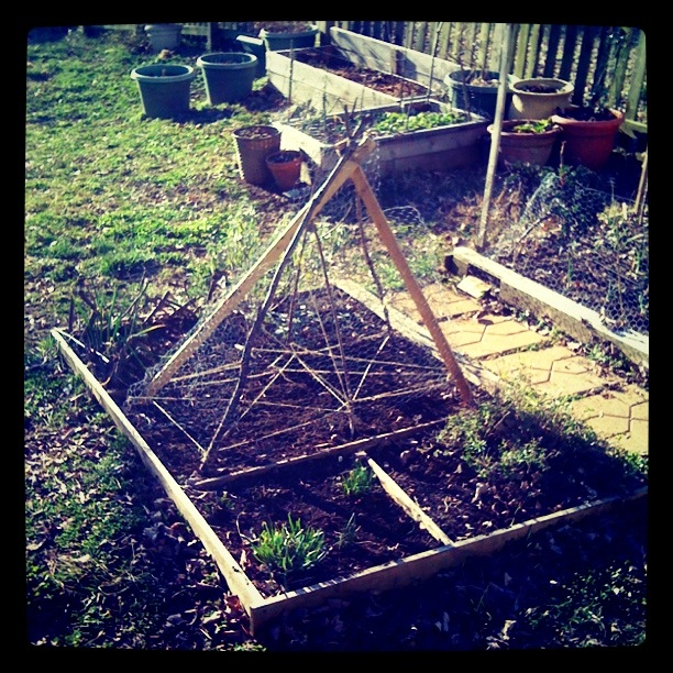 the pea trellis