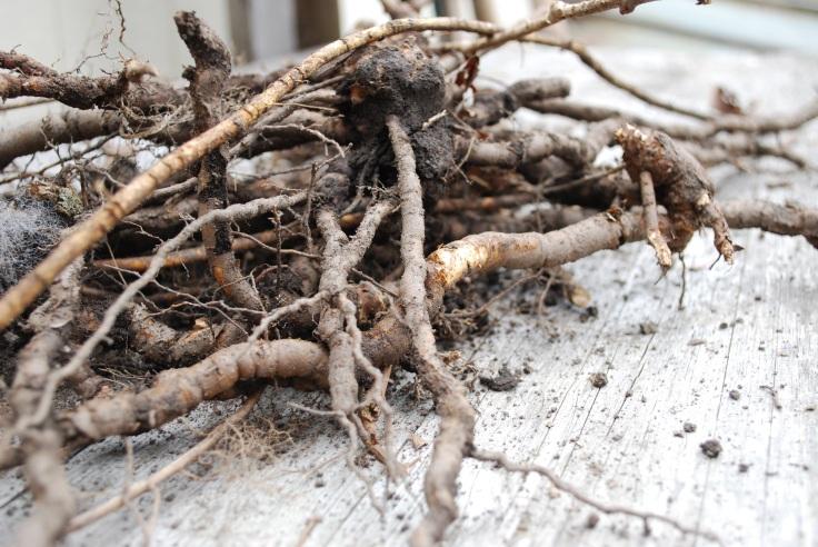 Ailanthus roots
