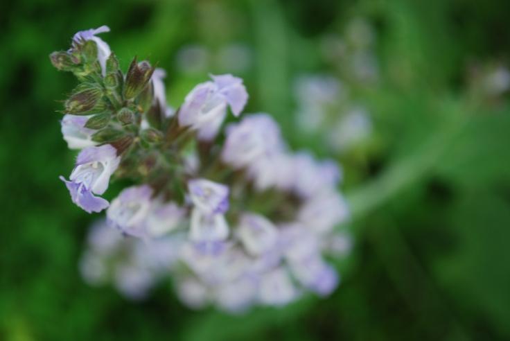 Sage blossoms