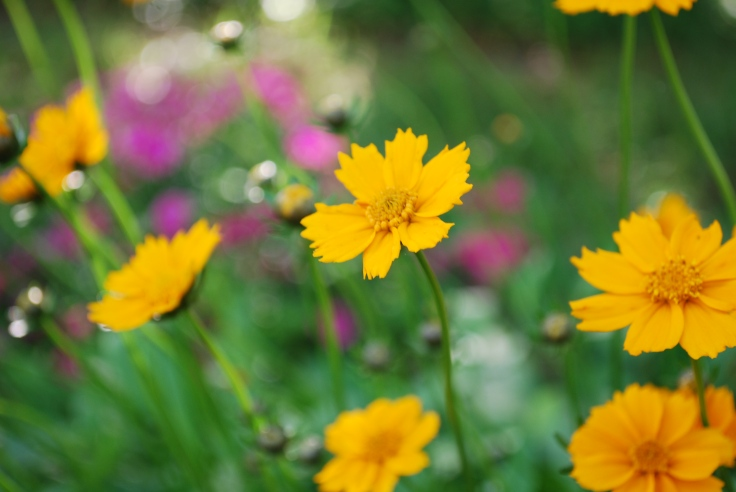 Coreopsis with pink dianthus behind it