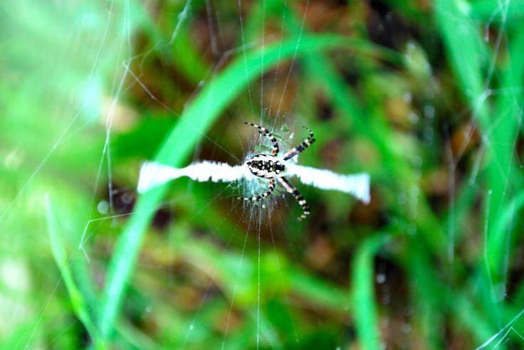 zipper spider! (argiope)